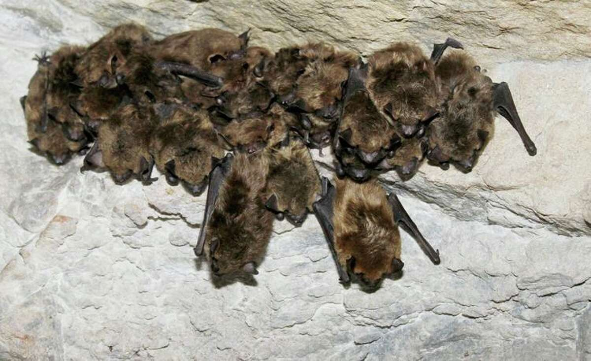 Big brown bats during hibernation.