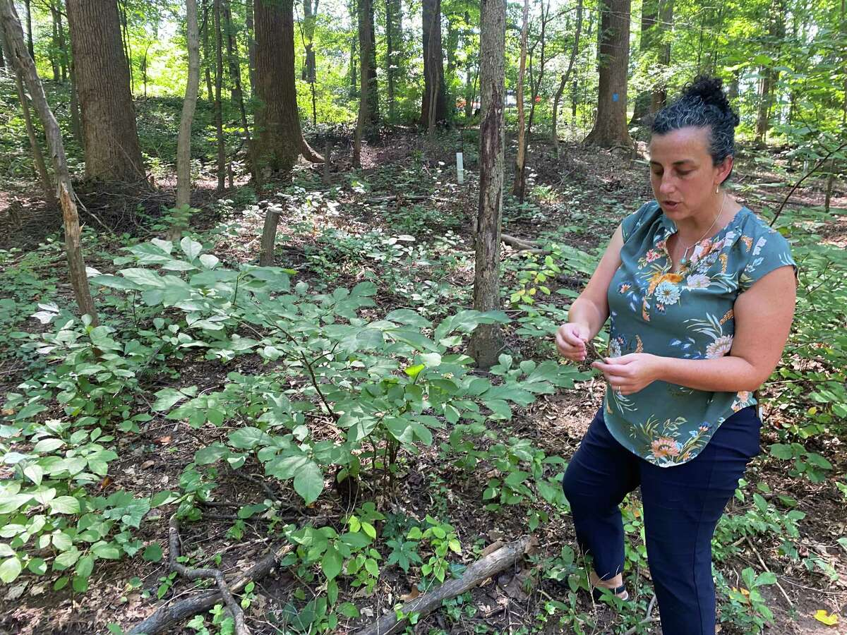 Alison Pearce of the Audubon Naturalist Society shows regrowth of spicebush after the installation of a deer fence at Woodend Sanctuary in Chevy Chase, Md., on Sept. 8, 2021.