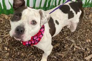 Pictured is Bella, a brown and white pit bull believed to be about a year old.