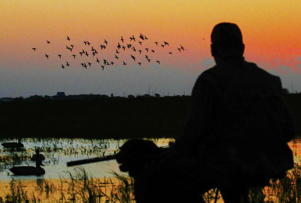 A flock of blue-winged teal swings toward waterfowlers decoys on a Texas coastal wetland. Recent rains have improved conditions ahead of the state's 16-day, teal-only hunting season which opens Sept. 15.