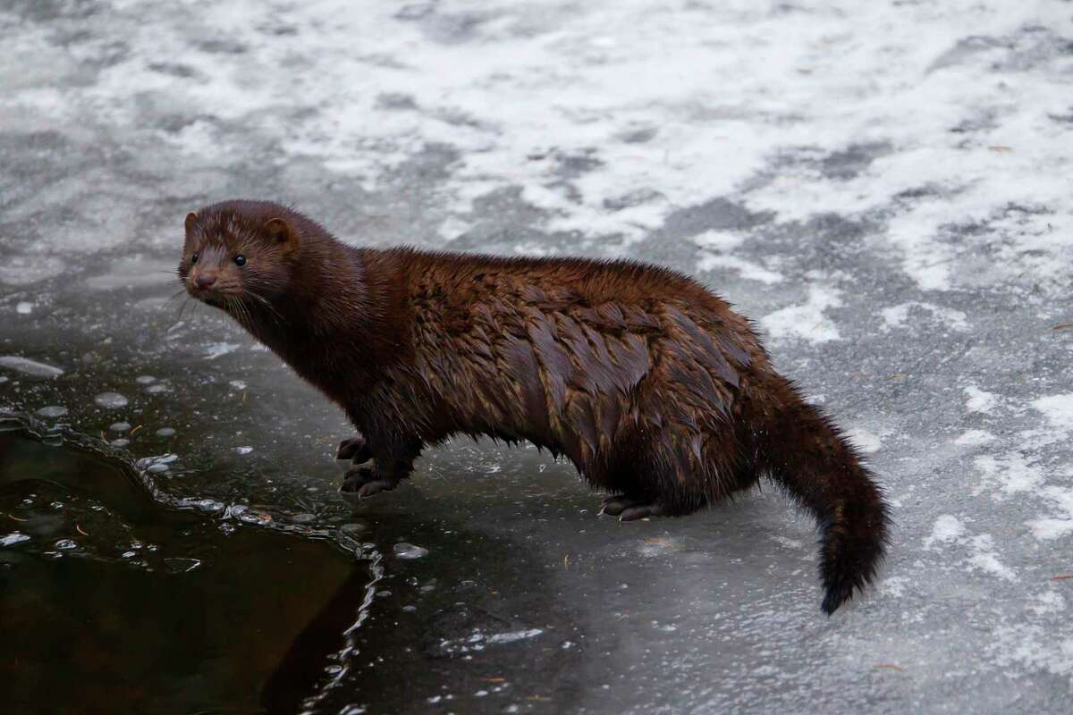 American mink native to North America on frozen river bank in winter.