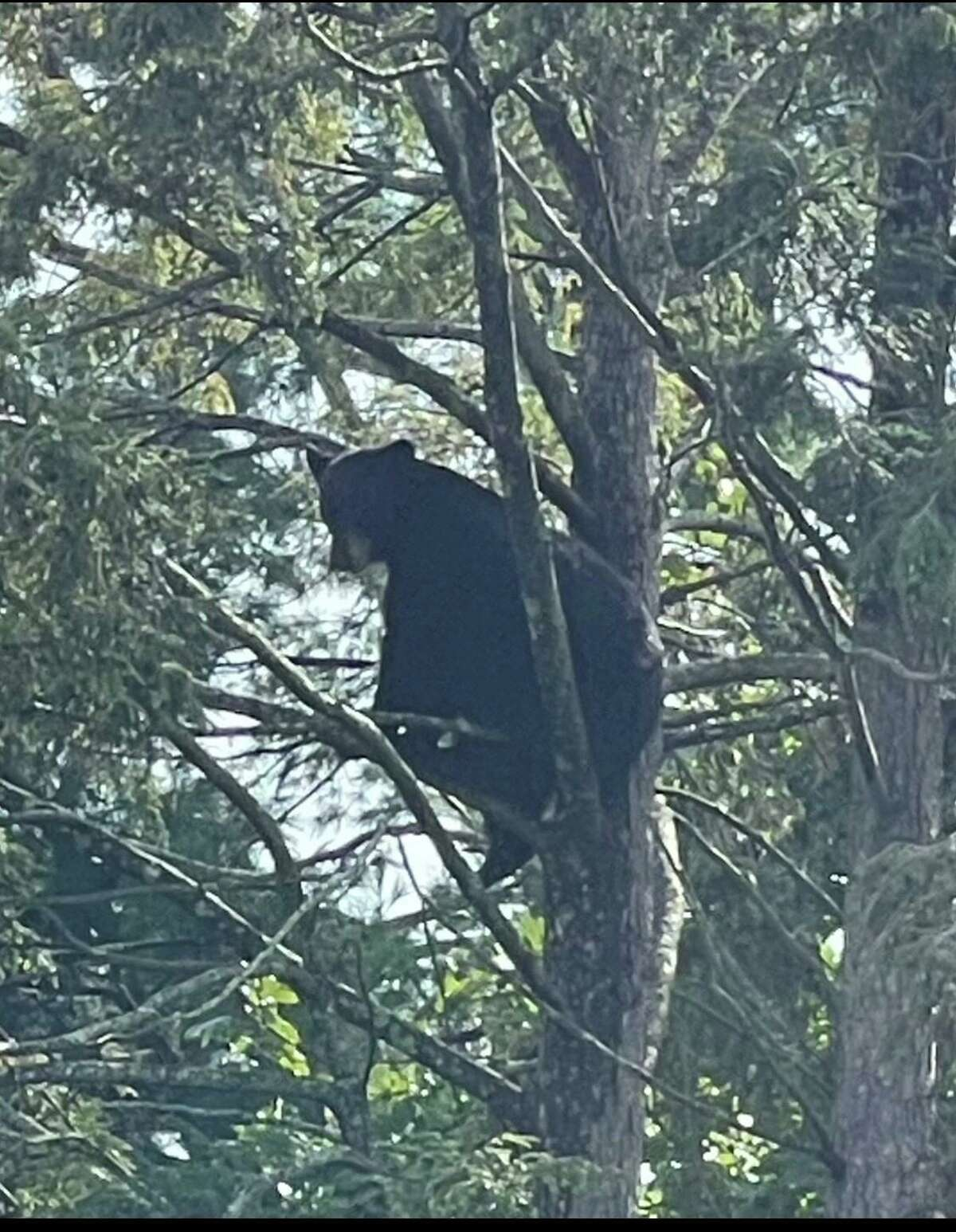 A bear sits in a tree behind a home on North Quaker Lane in West Hartford. Police said they received multiple calls a day of bear sightings in West Hartford.