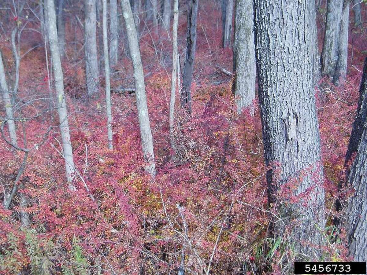 Japanese barberry covering forest understory. (Courtesy/Leslie J. Mehrhoff, University of Connecticut, Bugwood.org)