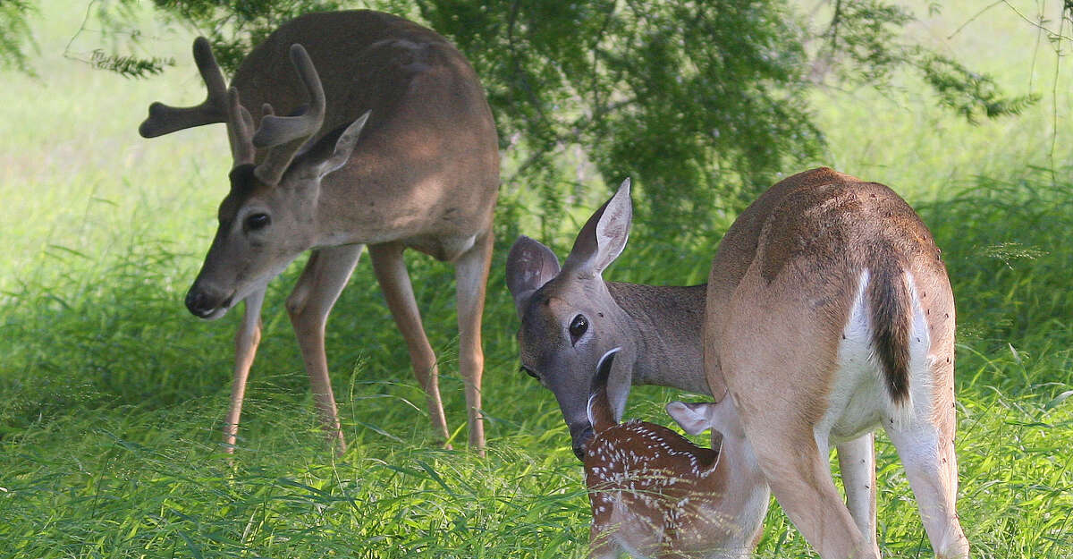 Texas is modifying its CWD management rules in the wake of an outbreak of the disease at seven breeding facilities.