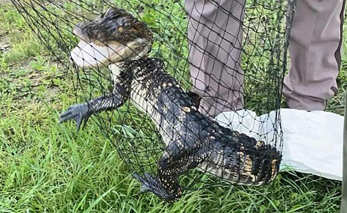 The Tuscola County Sheriff's Office is seeking the owner of an alligator found in a pond near Shay Lake on Wednesday.