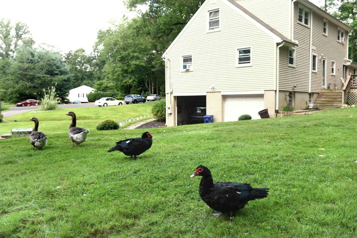 A pair of Toulouse geese, left, and Muscovy ducks roam the backyard of Dominick Lombardi's rear farm in Orange on September 3, 2021.
