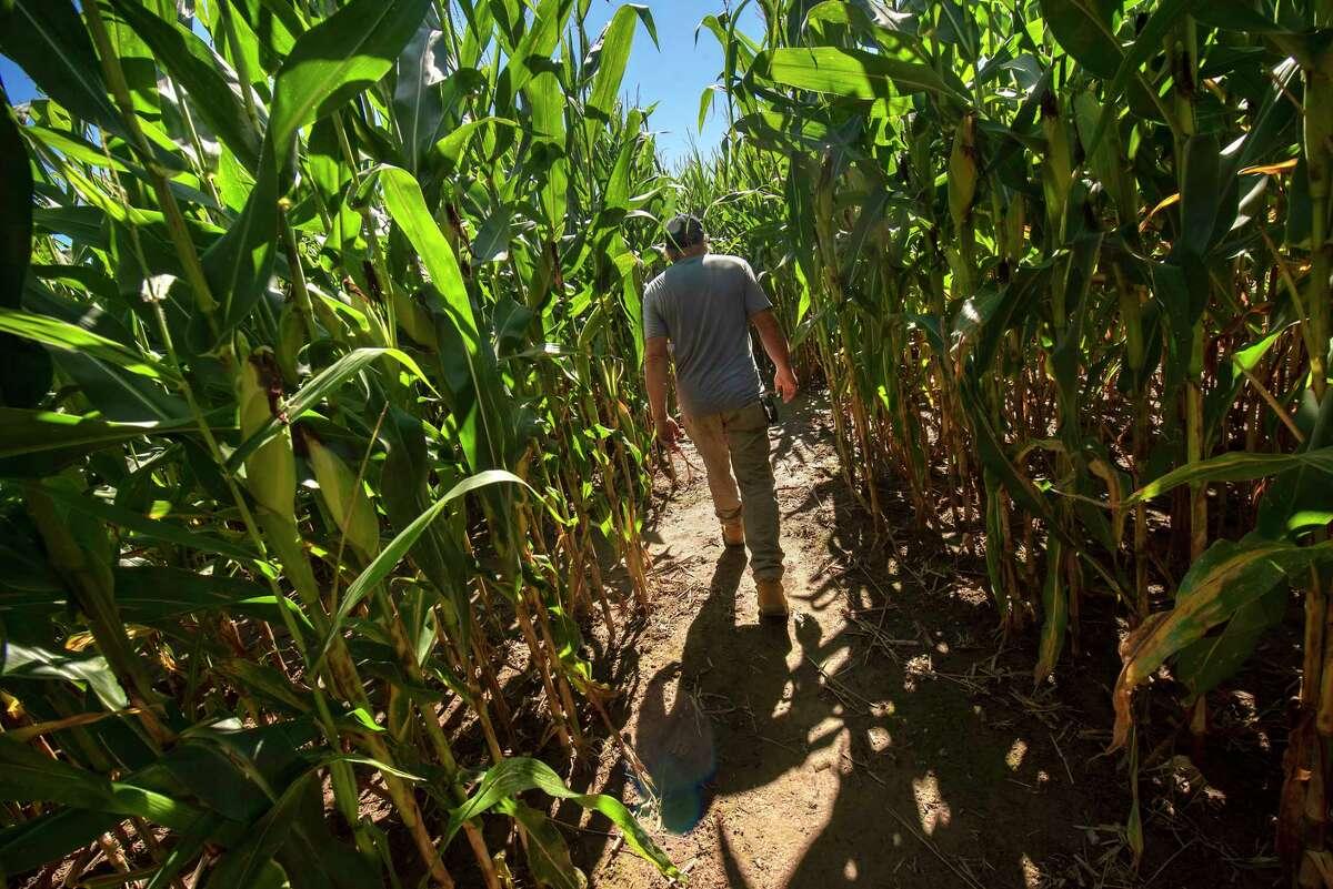 Co-owner Ken Macica walks in the spider web corn maze on the Schuyler Farm on Thursday, Sept. 16, 2021 in Schuylerville, N.Y.