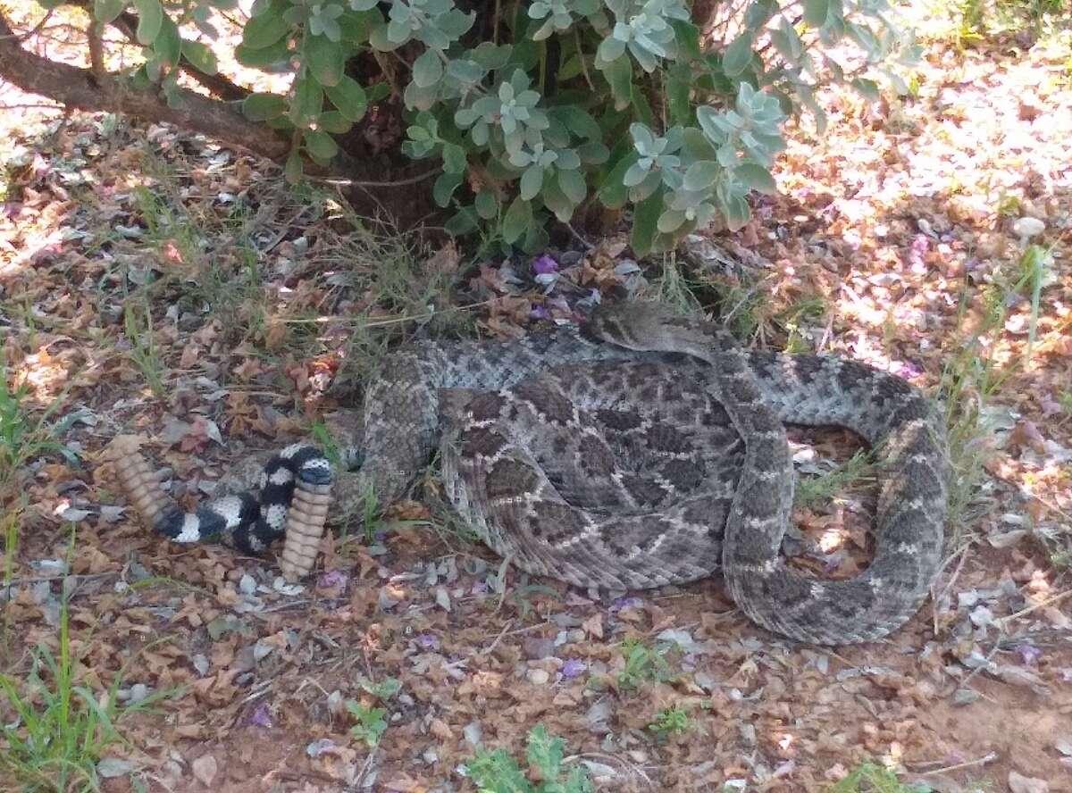 Big Bend National Park warned its visitors of an uptick of rattlesnakes.