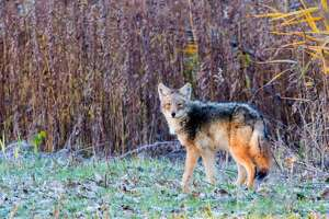 """The Eastern Coyote can be hunted for six months a year in New York; the season opens October 1st. While coyote fur and the pelts of similar """"furbearers,""""like beaver, have diminished in value, the practice of hunting these species is valuable for a new reason."""