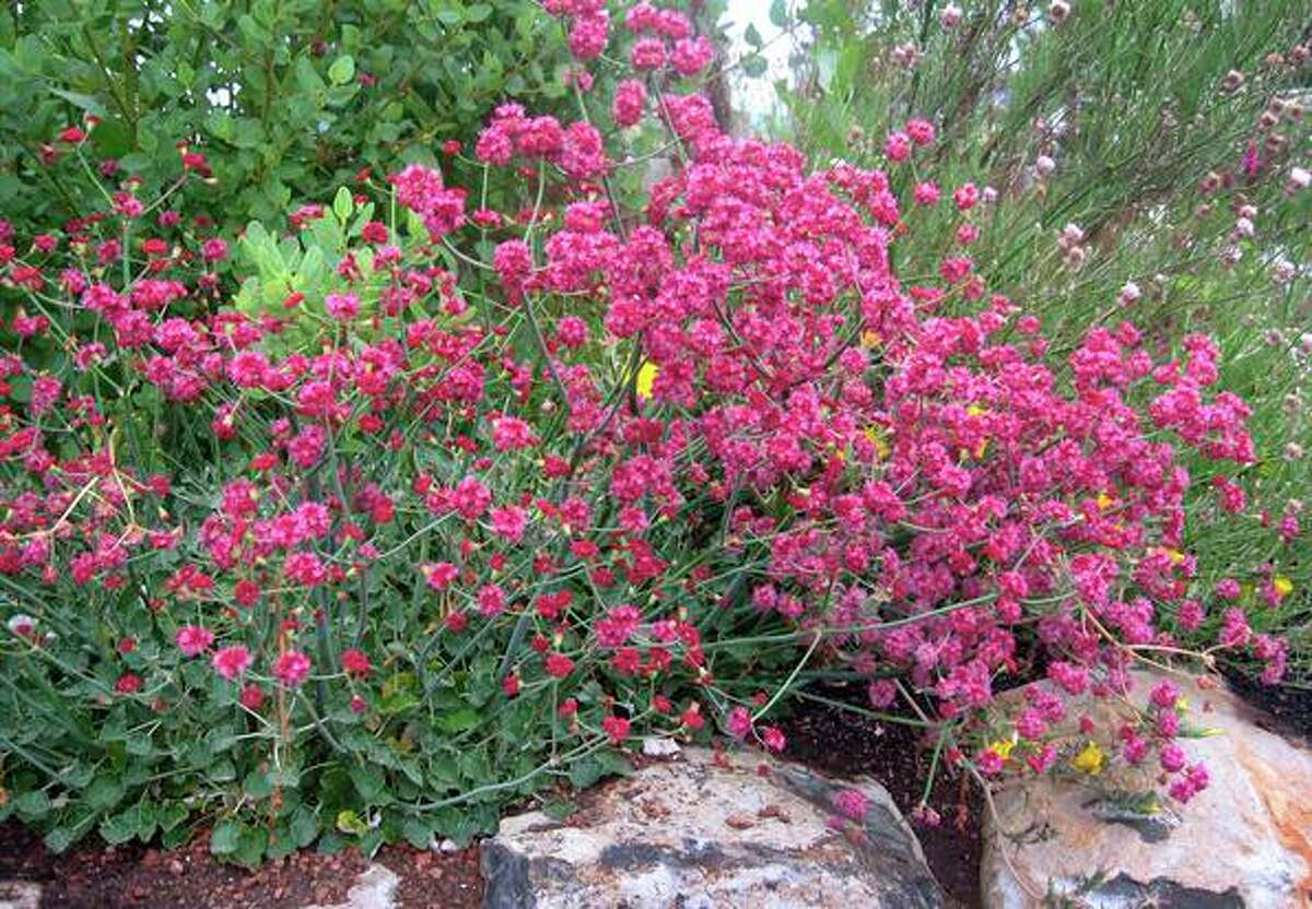 California buckwheat (Eriogonum grande rubescens) stays low to the ground.