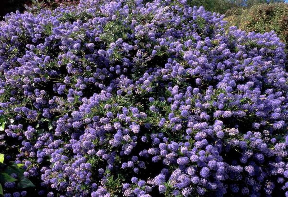Ceanothus, also known as California fuchsia, has beautiful purple flowers.