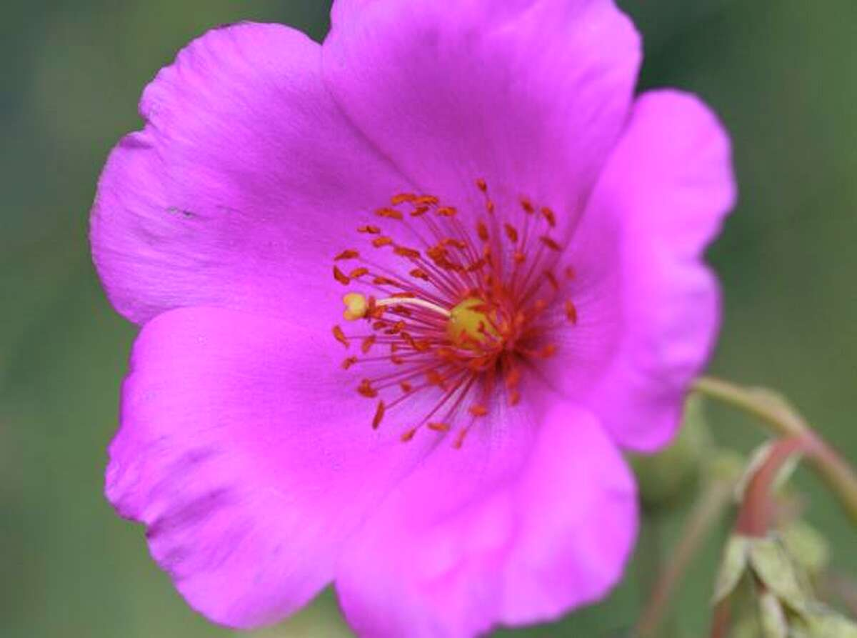 Rock purslane, a.k.a. Calandrinia spectabilis, offers bright pink flowers.