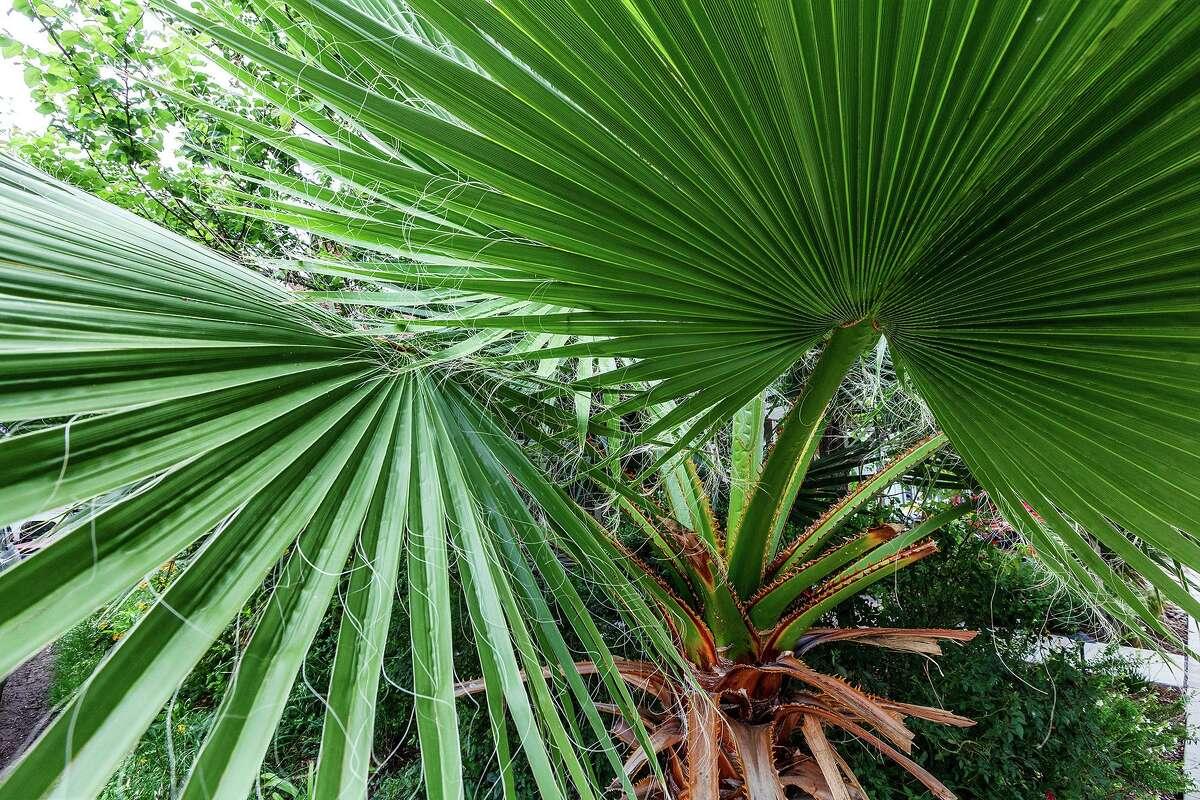 Fronds of a sabal palm