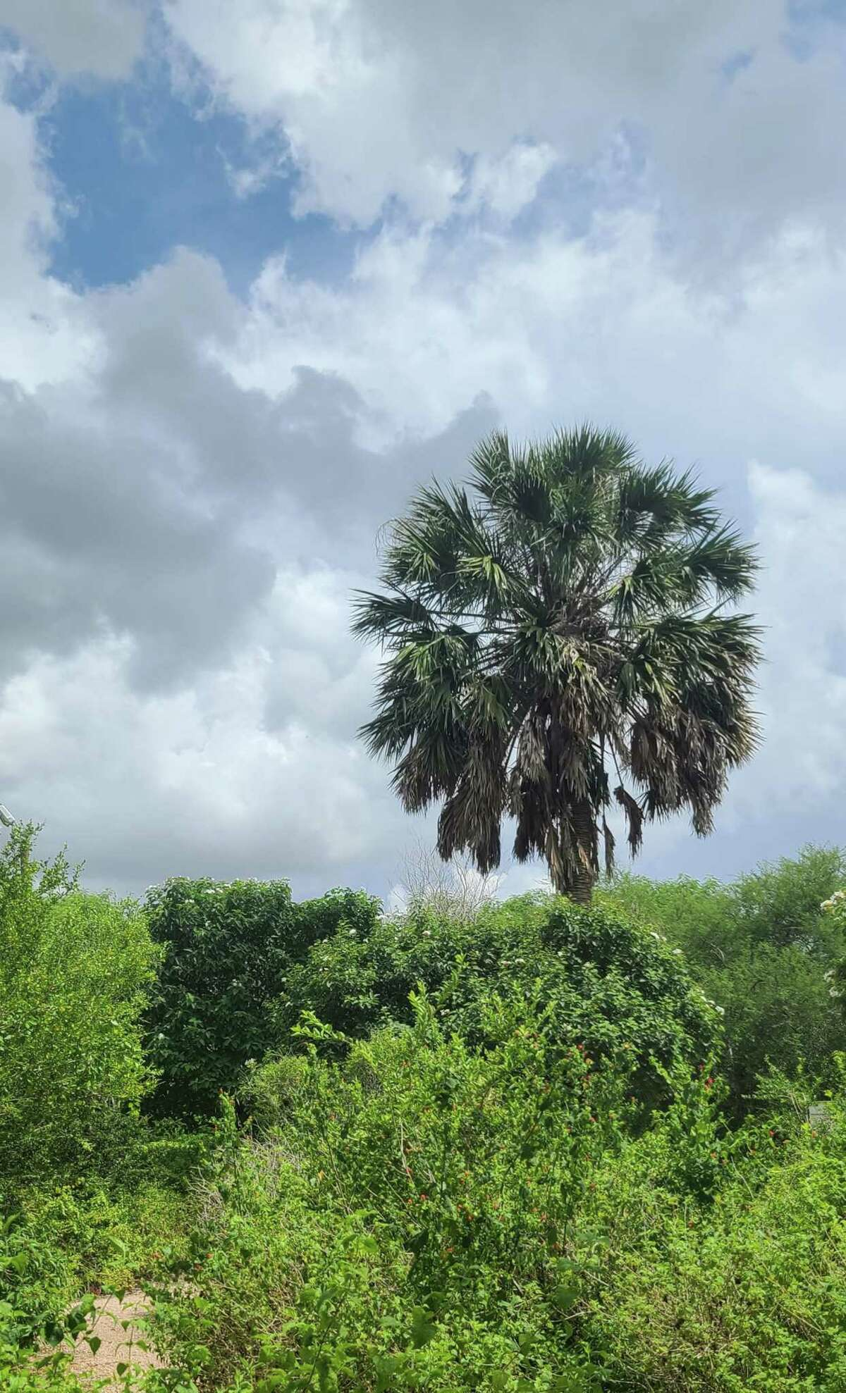 A mature sabal towers over woody undergrowth.