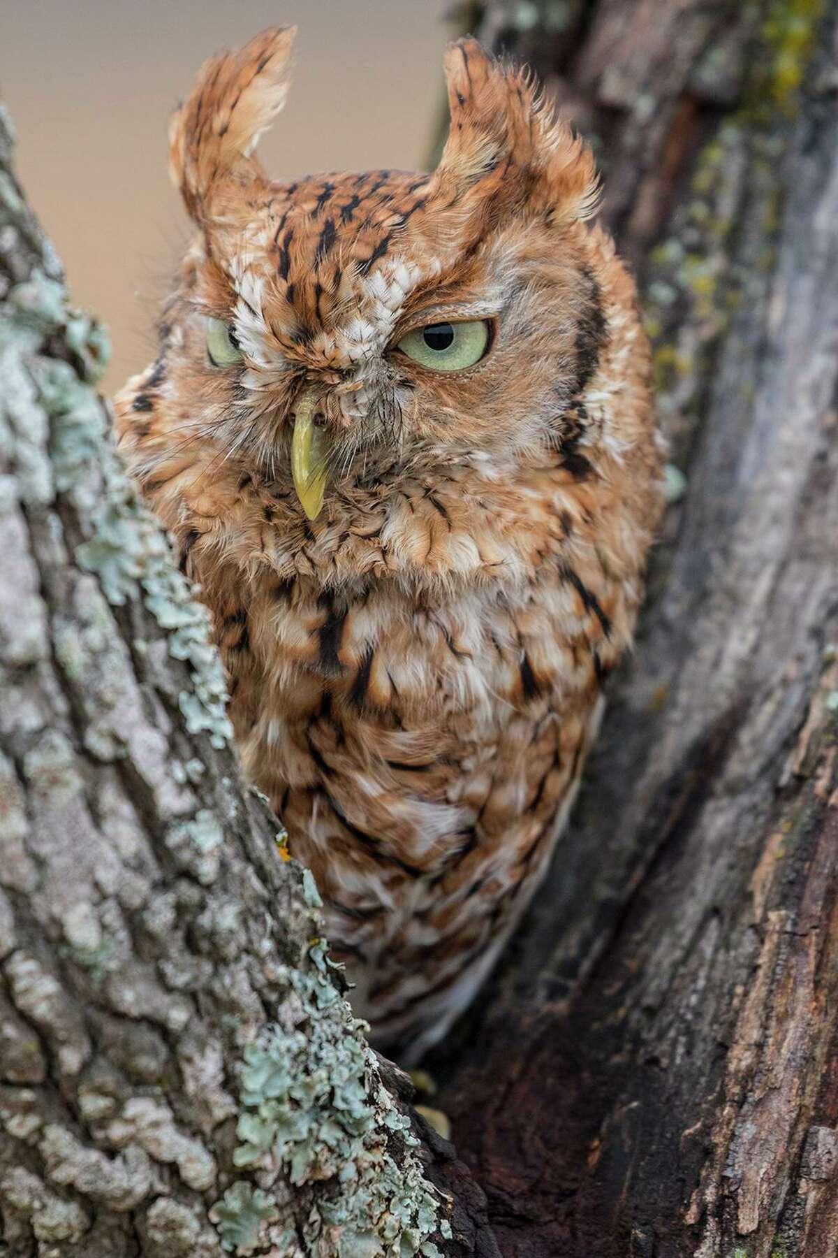 Don't miss the eastern screech-owl as it swoops in for its early morning breakfast prey.