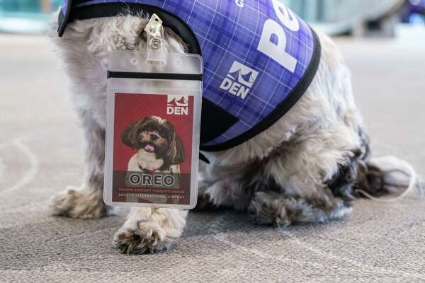 Oreo, a dog on Denver International Airport's Canine Airport Therapy Squad (CATS).