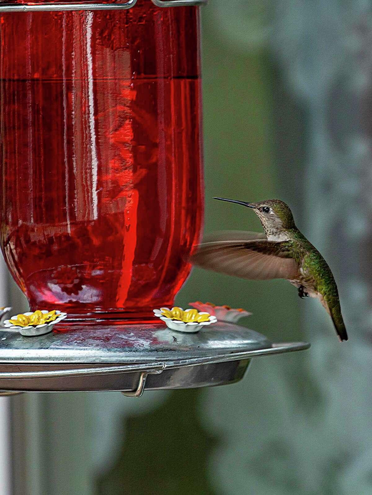 Hang a hummingbird feeder to take advantage of the fall hummingbird migration.