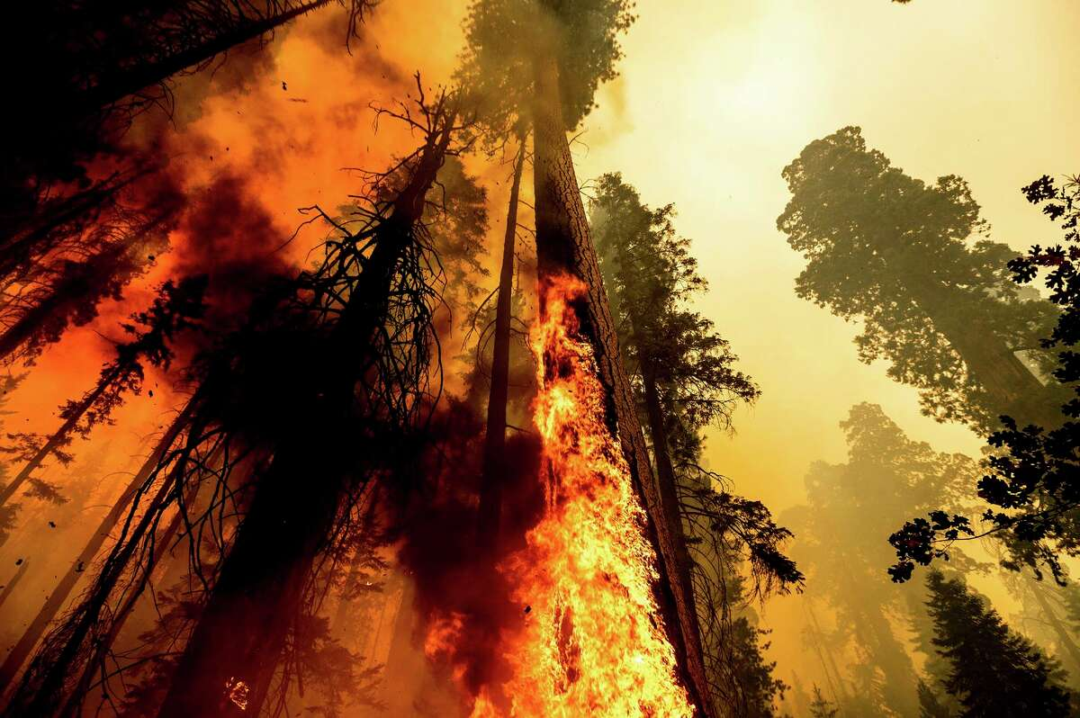 Flames climb a sequoia as the Windy Fire hits the Trail of 100 Giants grove in Sequoia National Forest.