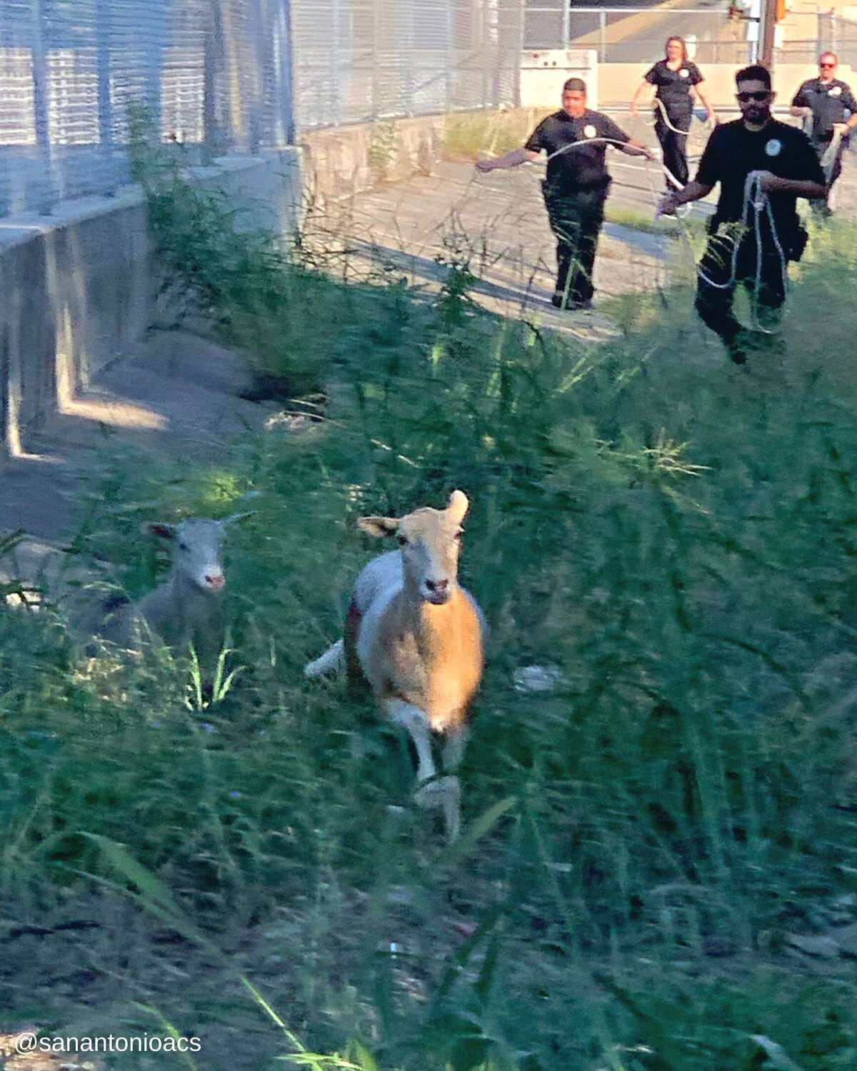 Police officers caught two sheep after chasing them near Texas 151 on the West Side earlier this year.