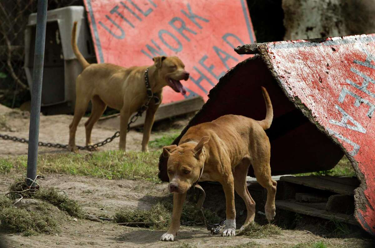 Two pit bulls are chained up in makeshift shelters a back yard in northeast Houston.