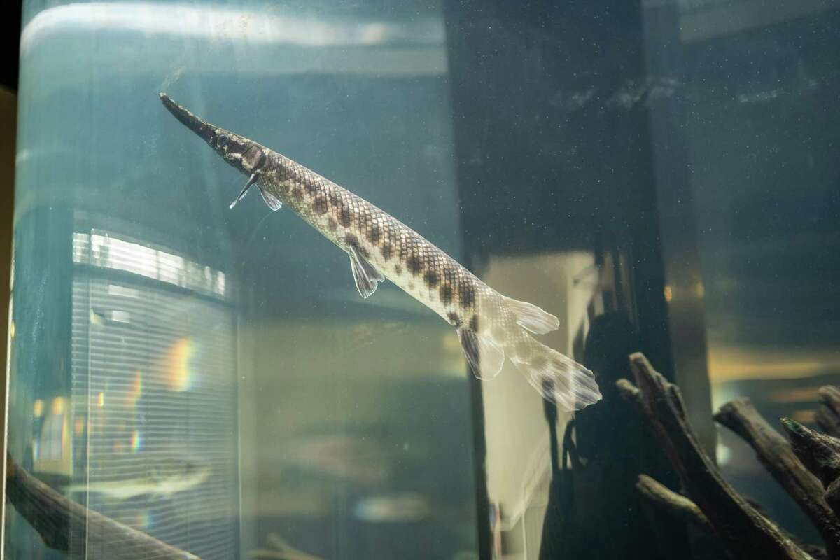 A spotted gar swims through the aquarium Wednesday at Texas State's Meadows Center for Water and the Environment in San Marcos.