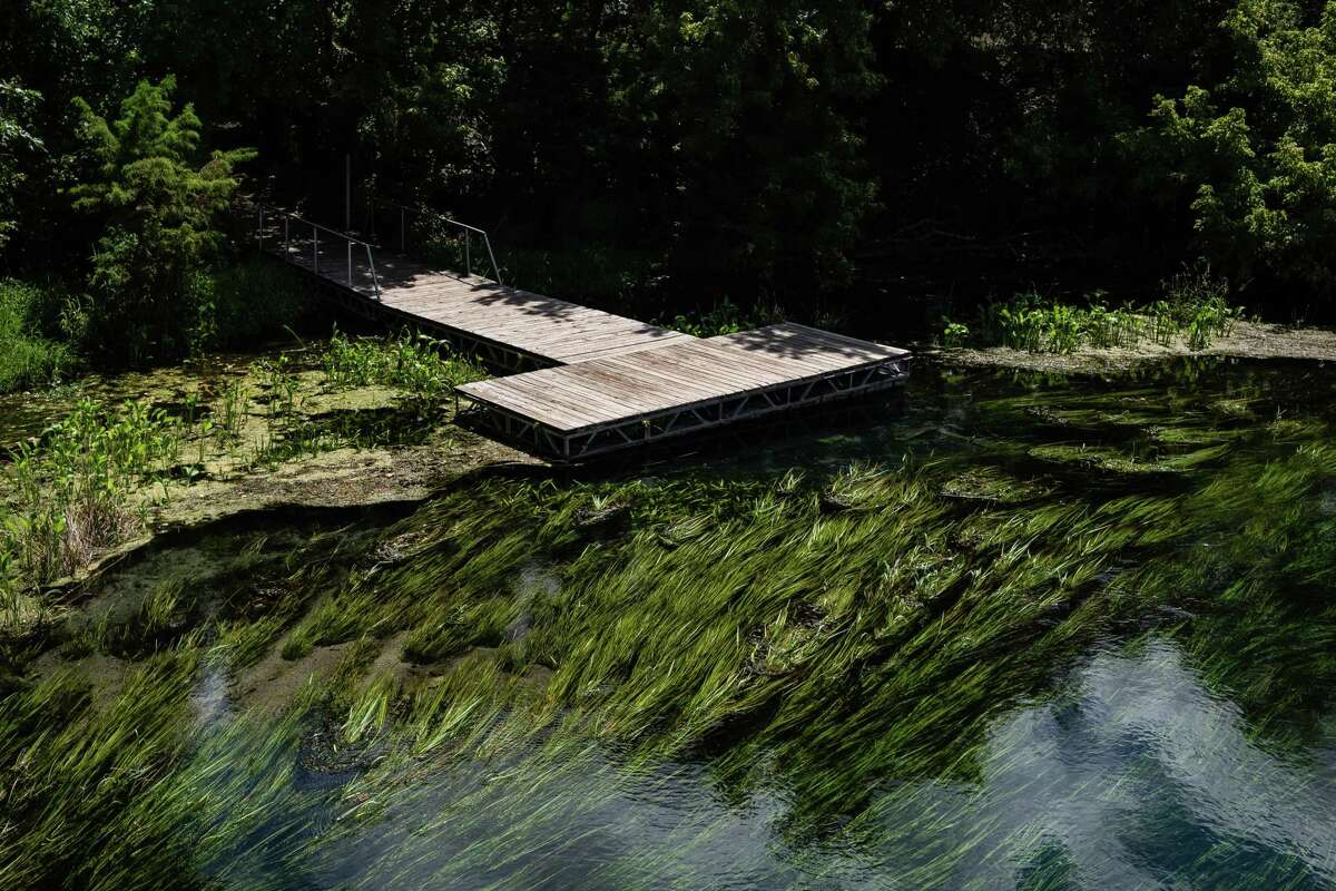 Texas Wild Rice waves near the surface of the San Marcos River on Wednesday.