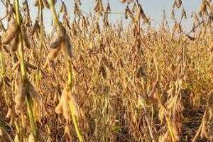 Illinois farmers have started their fall harvests, with 1 percent of soybeans out of the field and 11 percent of corn out. Farmers are listing both crops as excellent or good throughout three-quarters of the state.