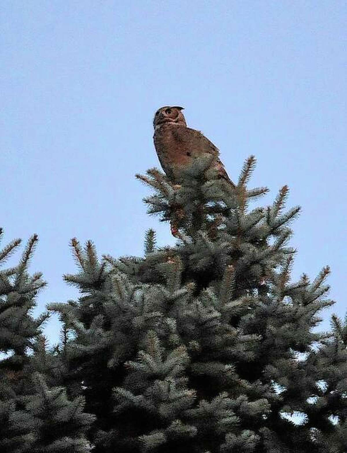 An owl takes up a vantage point from the top of a tree on Elm Street.