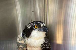 The rescued osprey
