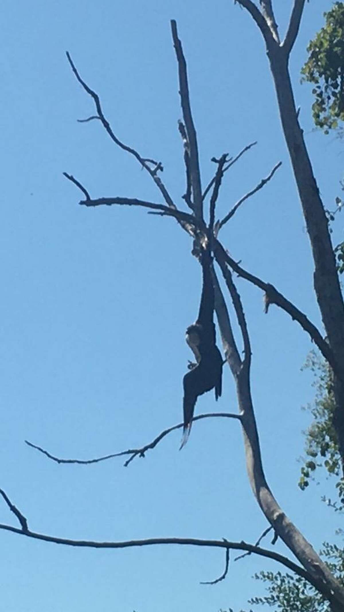 A person saved an osprey tangled in a fishing line and hanging from a tree along the Housatonic River on Sunday.