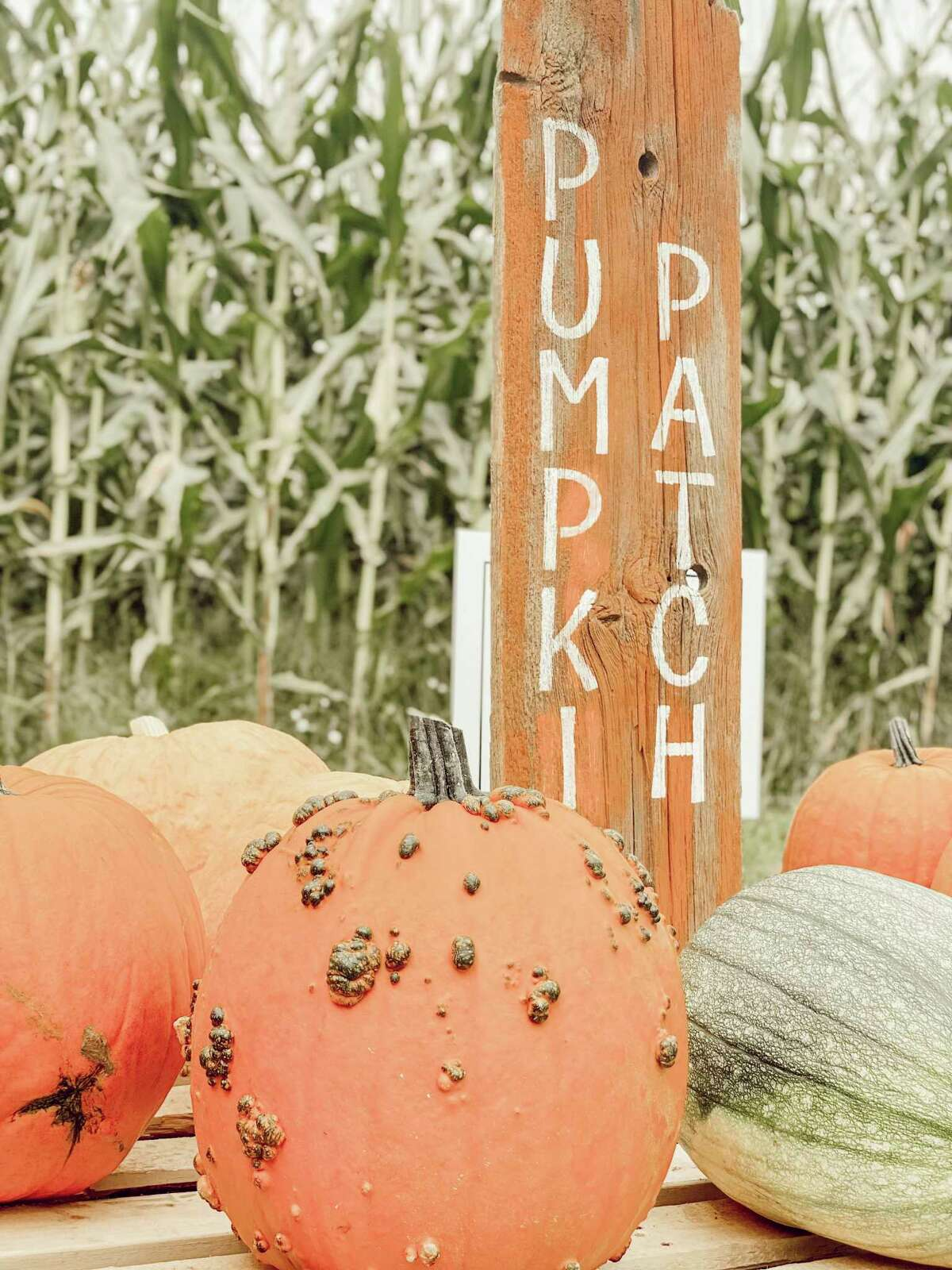 In addition to the corn maze at Oxford Farm, the pumpkin patch has also quickly become a favorite among patrons. (Photo courtesy/Kendra Kissane)