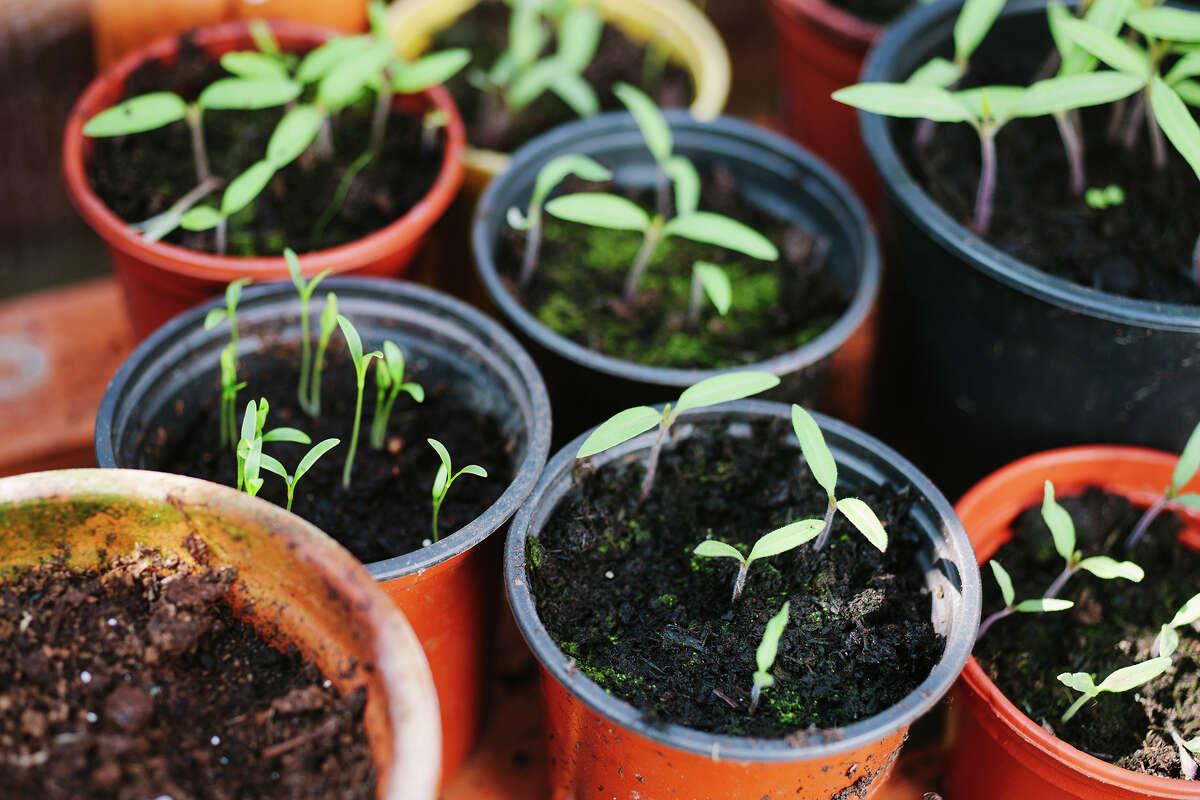 Live plant basil plant tulsi