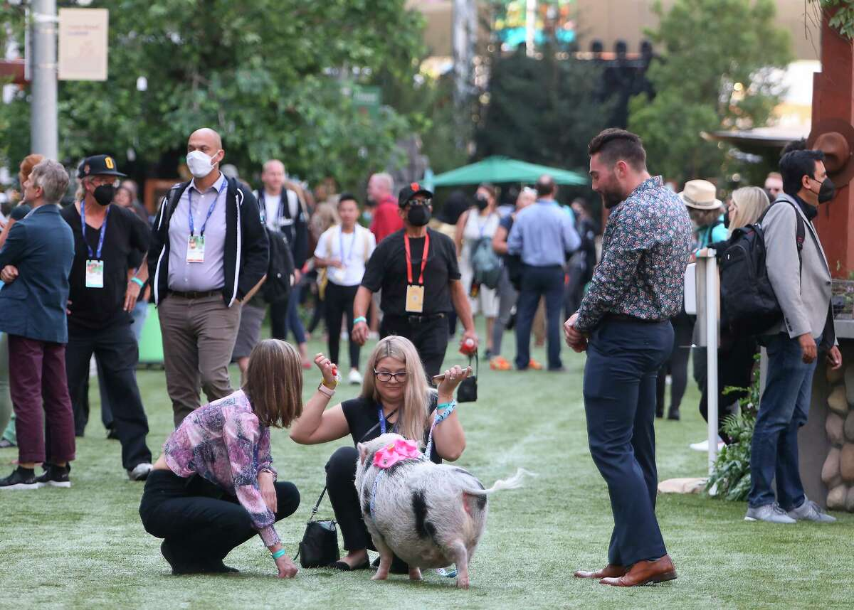 A pig is seen with Dreamforce 2021 attendees at the International Park on Howard Street during Salesforce's Dreamforce 2021 conference.