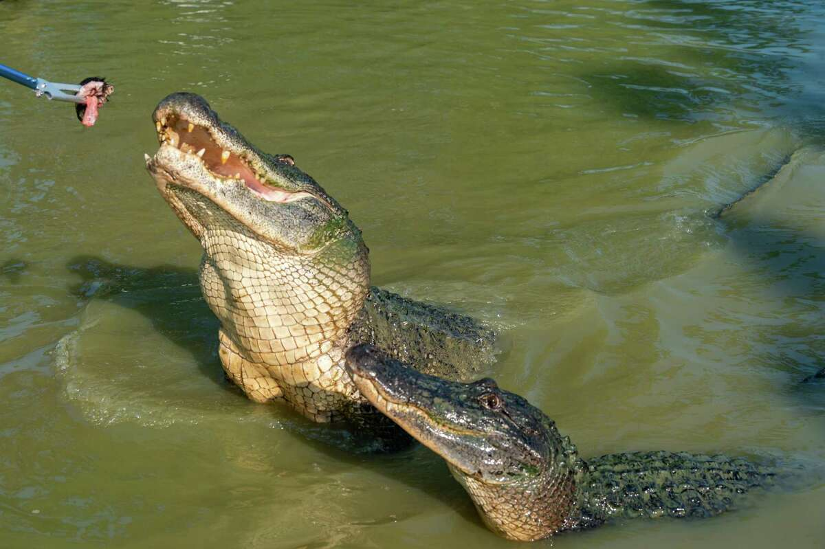 The 12-foot gator in the rear was captured by Gary Saurage of Gator Country at Lake Sam Rayburn. Saurage has been called out by wildlife officials twice recently to capture and remove two large alligators, a twelve-footer from Lake Sam Rayburn and a 11.5-footer from League City. Both were removed from their environment because it was determined that humans were feeding them which creates a hazard for anyone that may get close to them. Photo made on August 7, 2020. Fran Ruchalski/The Enterprise