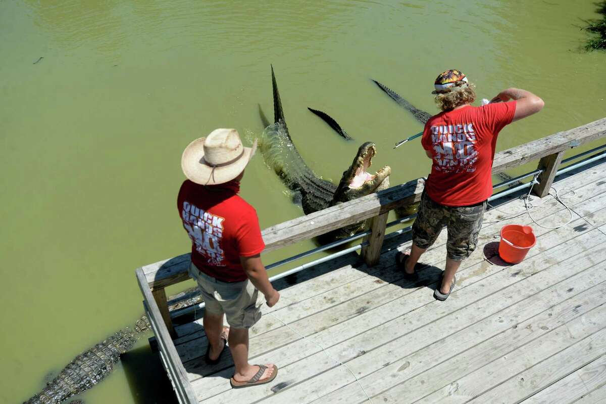 Interns Jesus Reyes and Blake Mitchell feed a pondful of hungry adult alligators at Gator Country in Fannett, which reopened the first weekend in May after being closed for weeks amid COVID-19 restrictions. Photo taken Monday, May 11, 2020 Kim Brent/The Enterprise