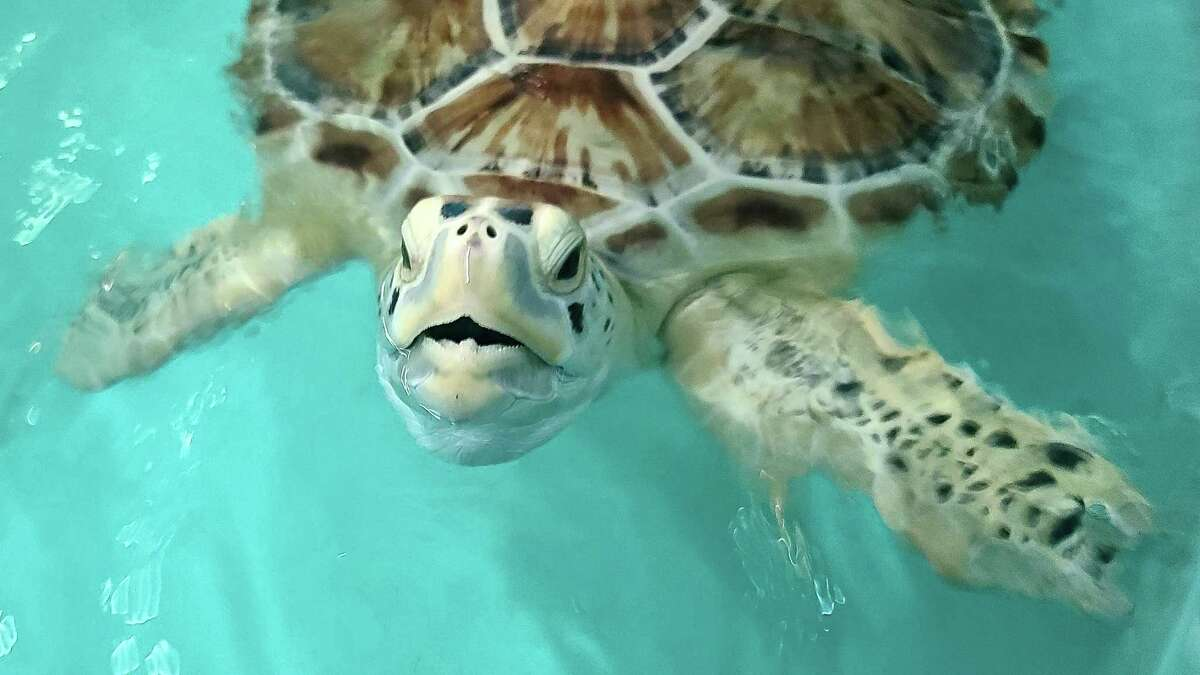 Stubbs, a seriously injured sea turtle, is finally ready to be released after months of rehabilitation at the Gulf Center for Sea Turtle Research.