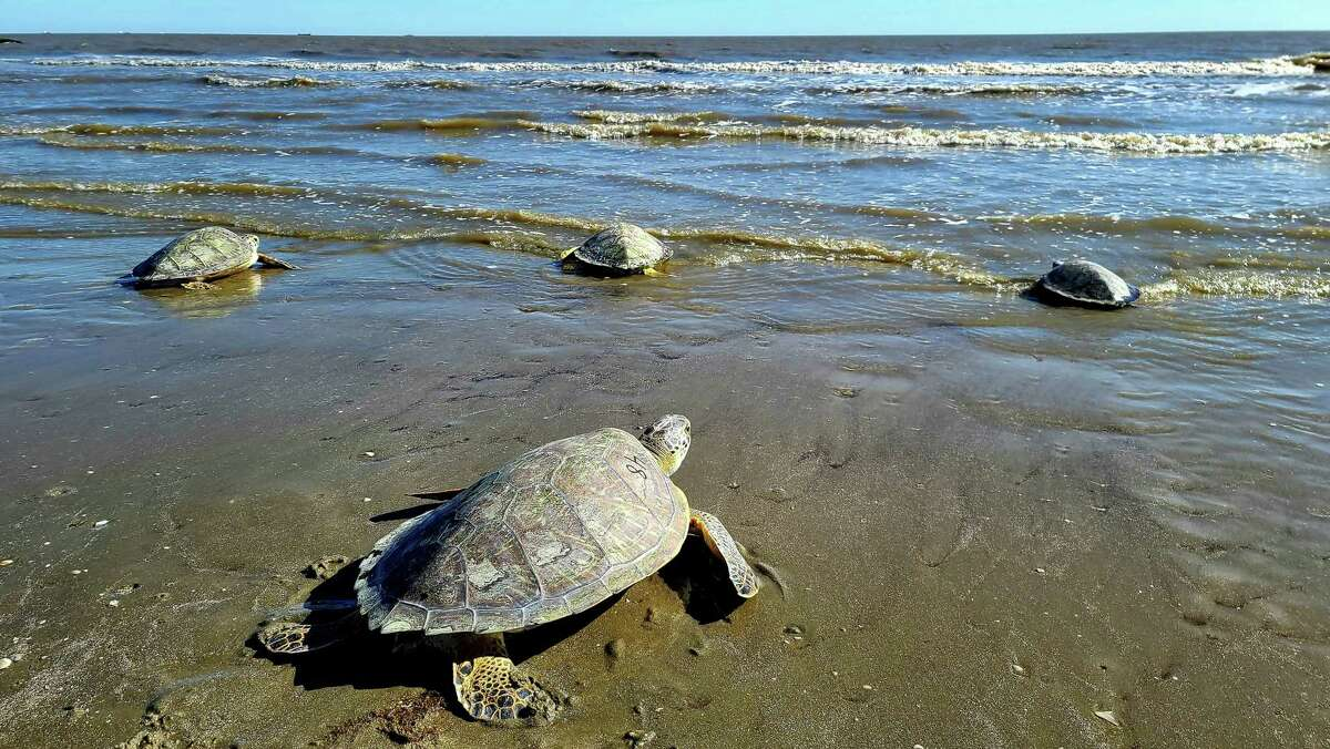 Rehabbed turtles from the center head back into the Gulf of Mexico.