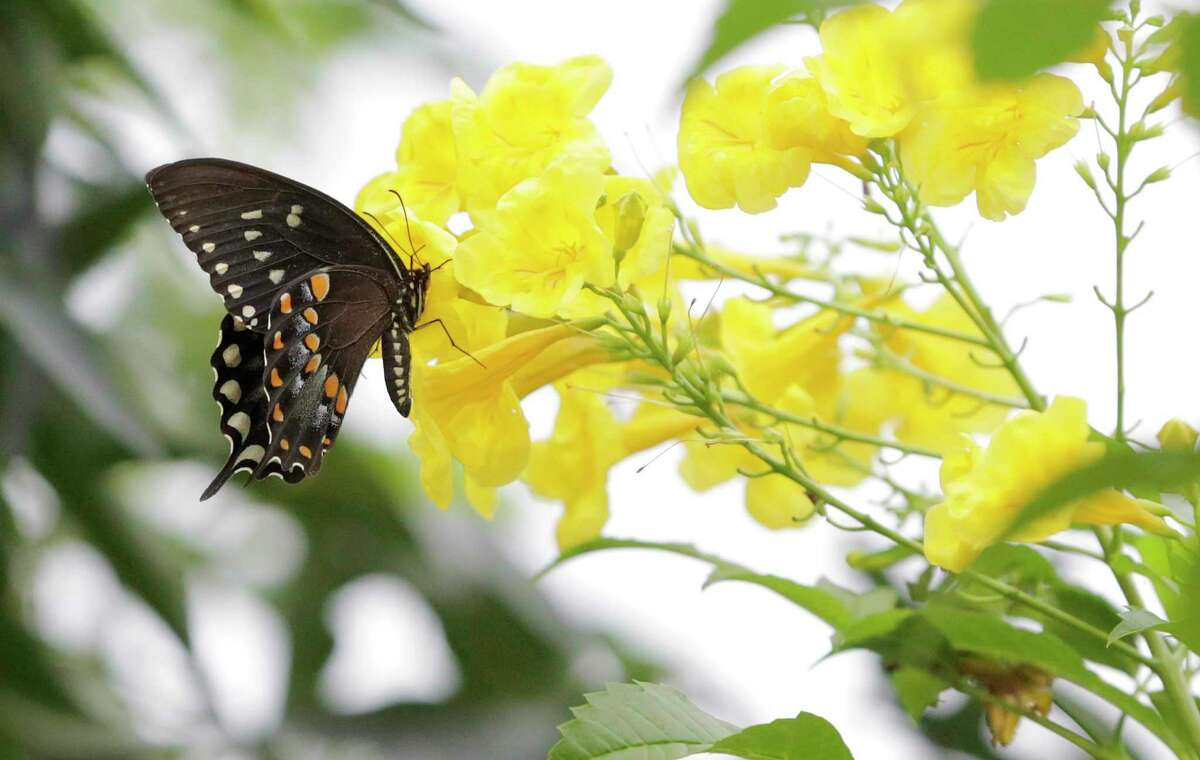 A spicebush swallowtail gets pollen from a yellow bells esperanza plant. Fall is the best time to plant shrubs, such as esperanza.