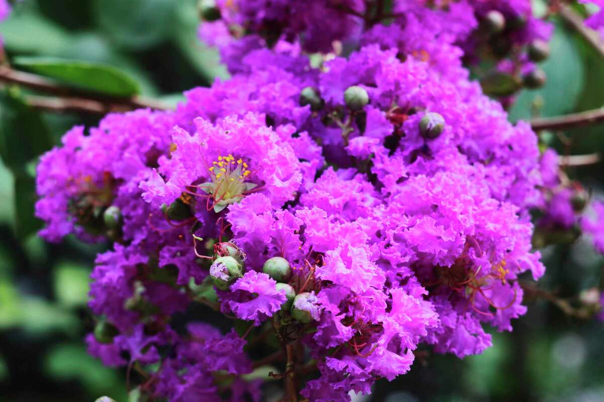 Crape myrtles are usually prolific summer bloomers, but the freeze damaged many in the Houston area.