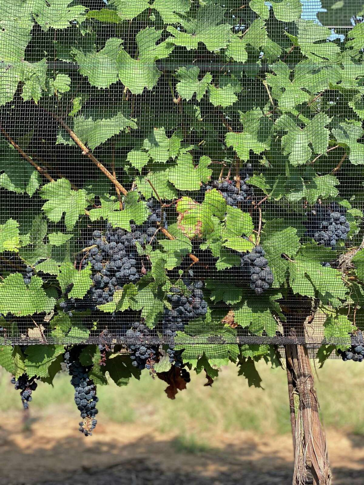 Dolcetto grapes maturing under netting at One Way Vineyards in Texas. Birds are a huge problem in vineyards since the grapes are so sweet and attract birds.