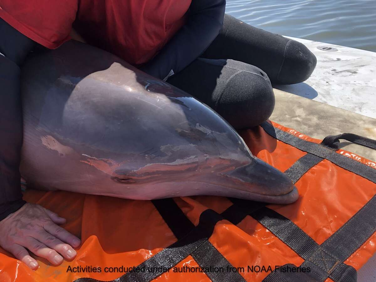 Over the weekend, several nonprofit organizations and volunteers quickly responded to a report of a stranded dolphin trapped in shallow water in Lighthouse Lakes, near Port Aransas.