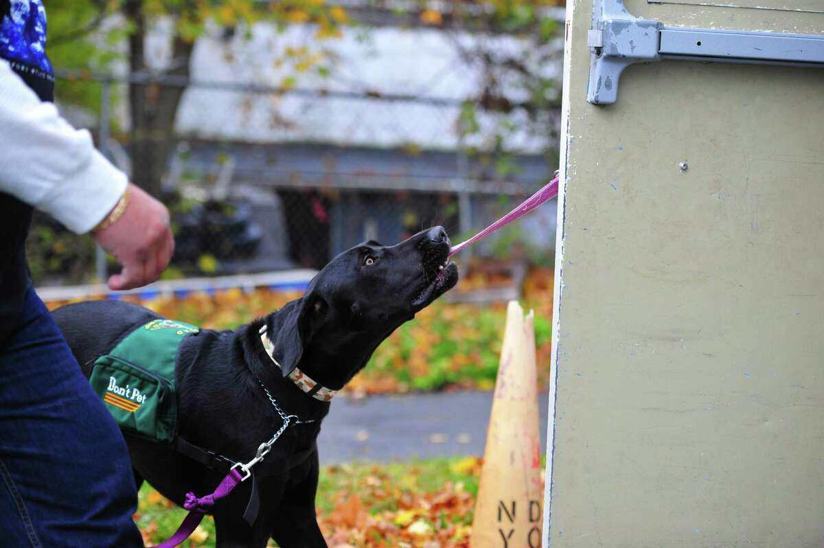 A Educated Canines Assisting with Disabilities trained service dog opens a door.