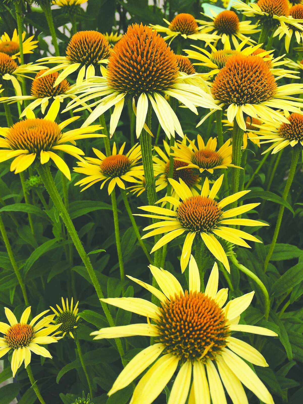 Leaving healthy perennials like coneflower stand for winter provides food for birds, winter interest and homes for many beneficial insects.