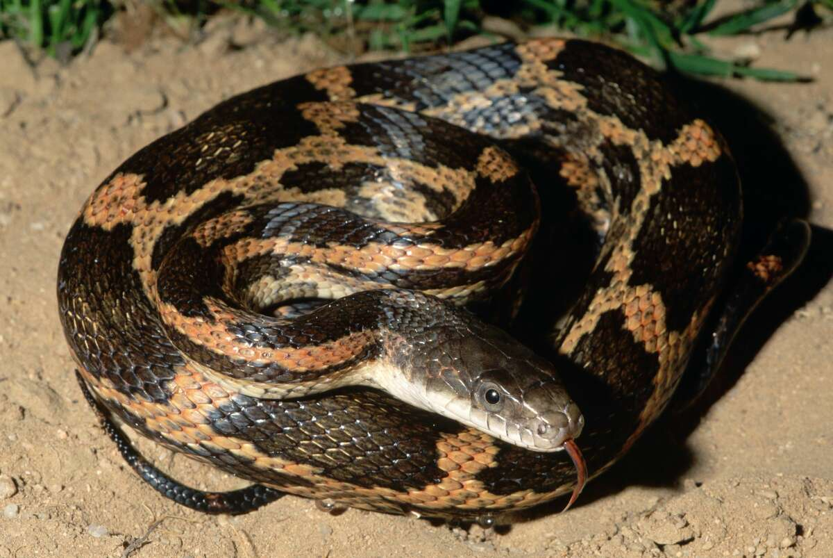 A Texas rat snake found throughout east and central Texas, Louisiana, and western Arkansas.