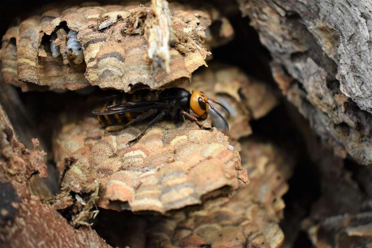 An Asian giant hornet in Whatcom County.