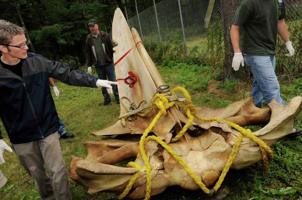 State Museum mammal curator Roland Kays says this skull portion of a 40-foot humpback whale that died in fishing nets will ?air out? and further decompose on state property. Eventually the bones of the giant mammal will be prepared for display. (Michael P. Farrell/Times Union)