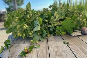Freshly picked hops from Bell's very own hopyard located next to their production brewery in Comstock. These will be used in their three upcoming Sideyard beers. (Amy Sherman/For Hearst Midwest)