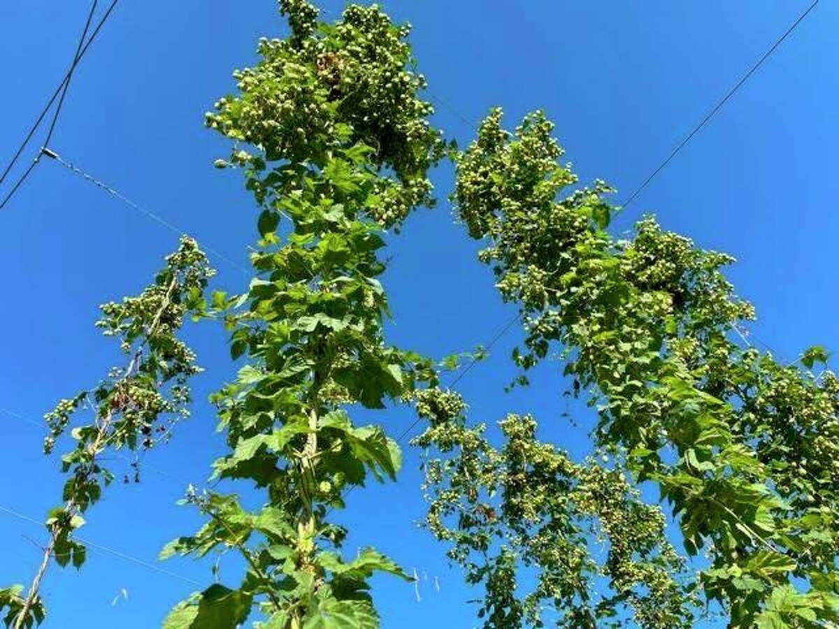 Hops grow up trellises at Bell's Brewery in Comstock. (Amy Sherman/For Hearst Midwest)