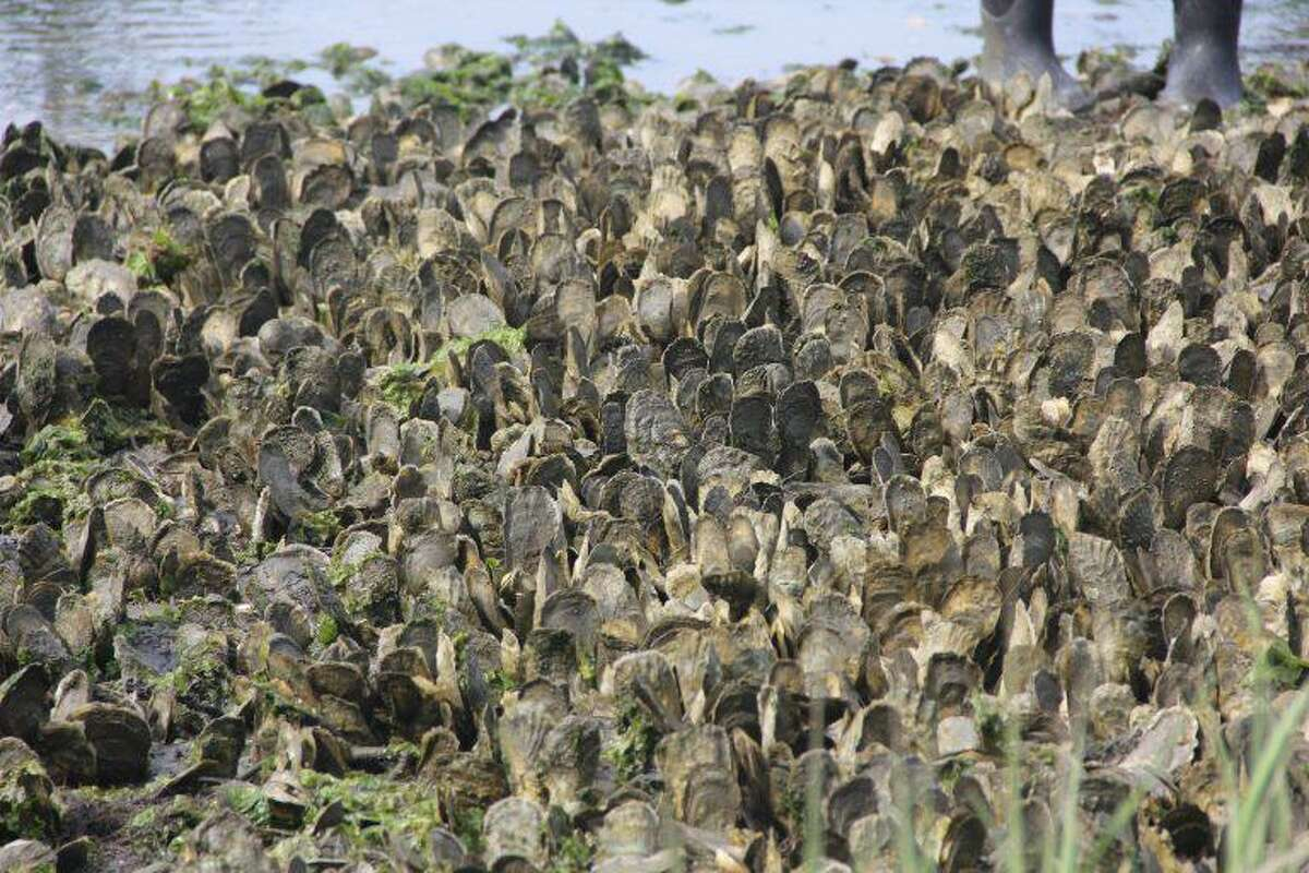 Oysters grow in a natural bed in Connecticut waters of Long Island Sound.