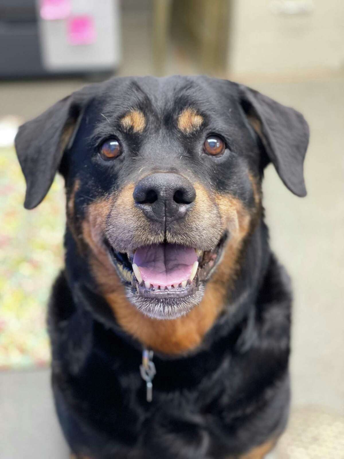 Jasmine is an 8-year-old Rottweiler at the Connecticut Humane Society who is looking for a new home where she can relax and nap next to you and get in a nice stroll outside each day. She's very mellow but does let you know when she wants to be pet by bumping her head into your hand or lap. Her favorite thing to do on walks is sniff anything and everything in the grass. Jas would prefer a home with only a few or no stairs, because she has some arthritis. She'd also like to be your only dog because she loves people so much, but may be open to being buddies with a cat. She's on a special diet to prevent bladder stones (and had some surgically removed in CHS' veterinary department), but she doesn't mind. This happy lady just wants people to love and to be around all the time. Visit CThumane.org/adopt to learn more. An online application can be found in each pet's profile.